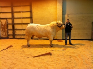 CHAMPION CHAROLAIS FROM W R BAILLE & CO BIGGINGS TOAB
