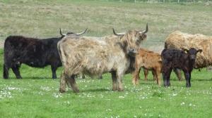 cows 030
