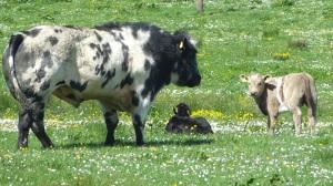 cows 047