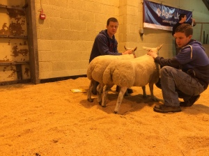 CHAMPION PAIR OF BELTEX LAMBS FROM SCOTT & BROWN BIGGINGS STENNESS SOLD FOR £158 PURCHASED BY E FLETT BUTCHERS STROMNESS