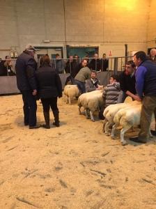 Judging Lambs